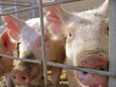 Study Evaluates Strategies for Generating Electricity From Hog Waste