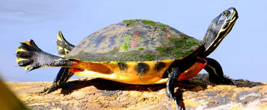 Florida Red-Bellied Cooter by Matlacha