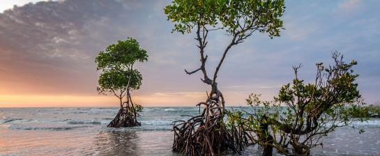 Mangrove trees on the coast.